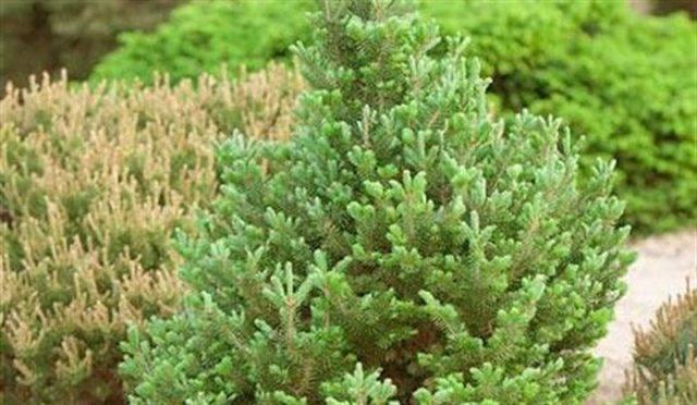 Топ-5 лучших хвойных растений для дома