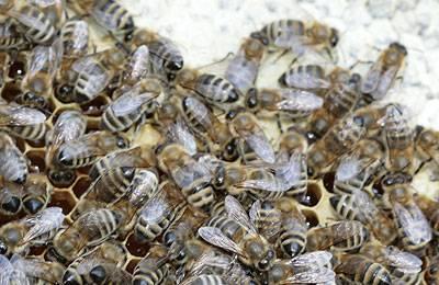 Работы с пчелами в августе: советы по подкормке, лечению