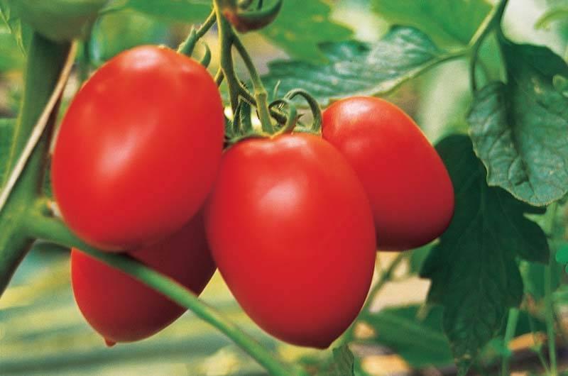 "Томат ""бенито f1"": описание сорта, характеристики и фото помидоров"