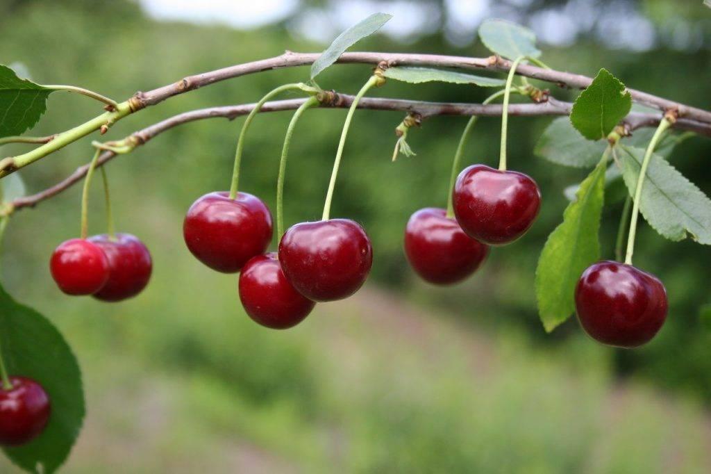Черешня регина — описание сорта, фото, отзывы садоводов