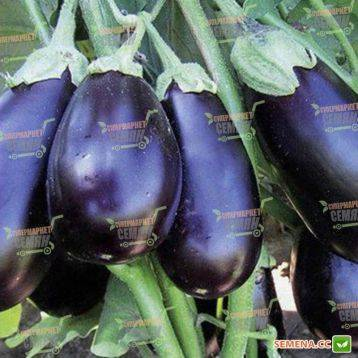 Высокоурожайный баклажан галина