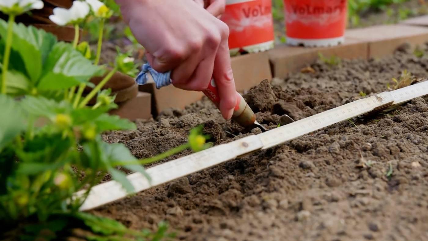 Особенности посадки клубники в открытом грунте