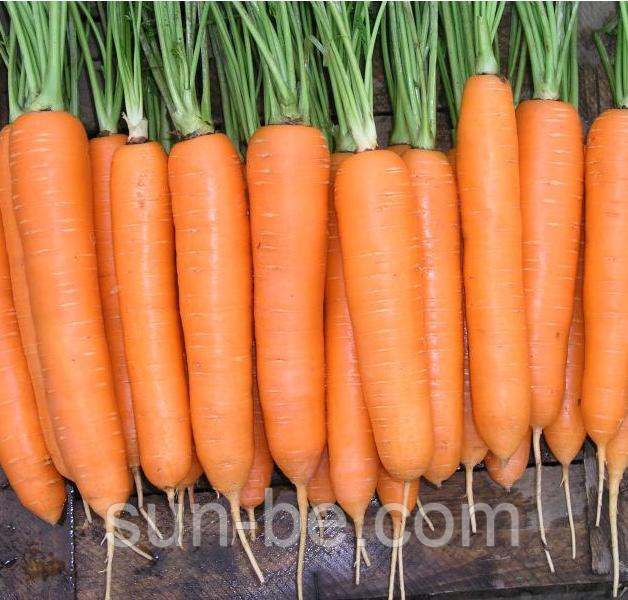 Морковь кантербюри f1: описание, фото, отзывы
