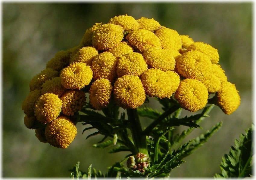 Бессмертник: лечебные свойства растения и противопоказания