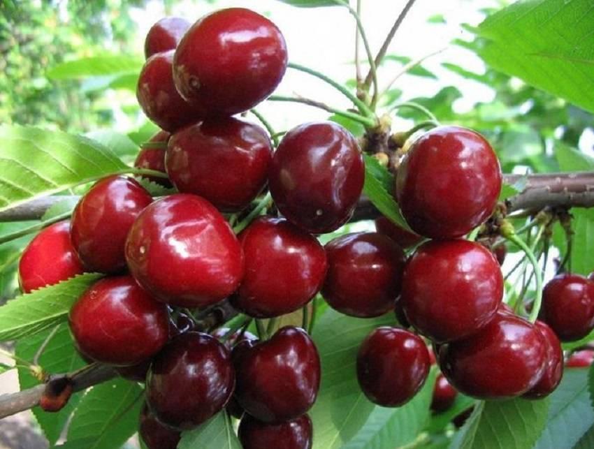 Черешня гронковая — описание сорта, фото, отзывы садоводов