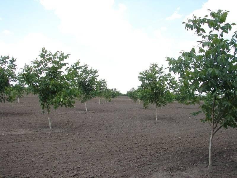Чем подкормить грецкий орех осенью подкормка дерева видео
