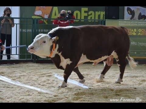 Казахская белоголовая порода коров характеристика отзывы