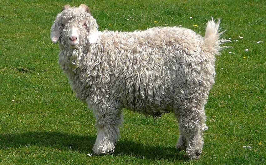 Лучшие породы пуховых коз с фото и описанием