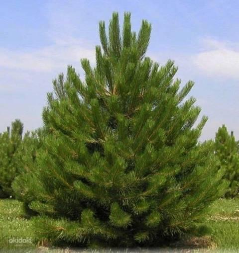Сосна «негиши»: описание сорта, особенности посадки и ухода