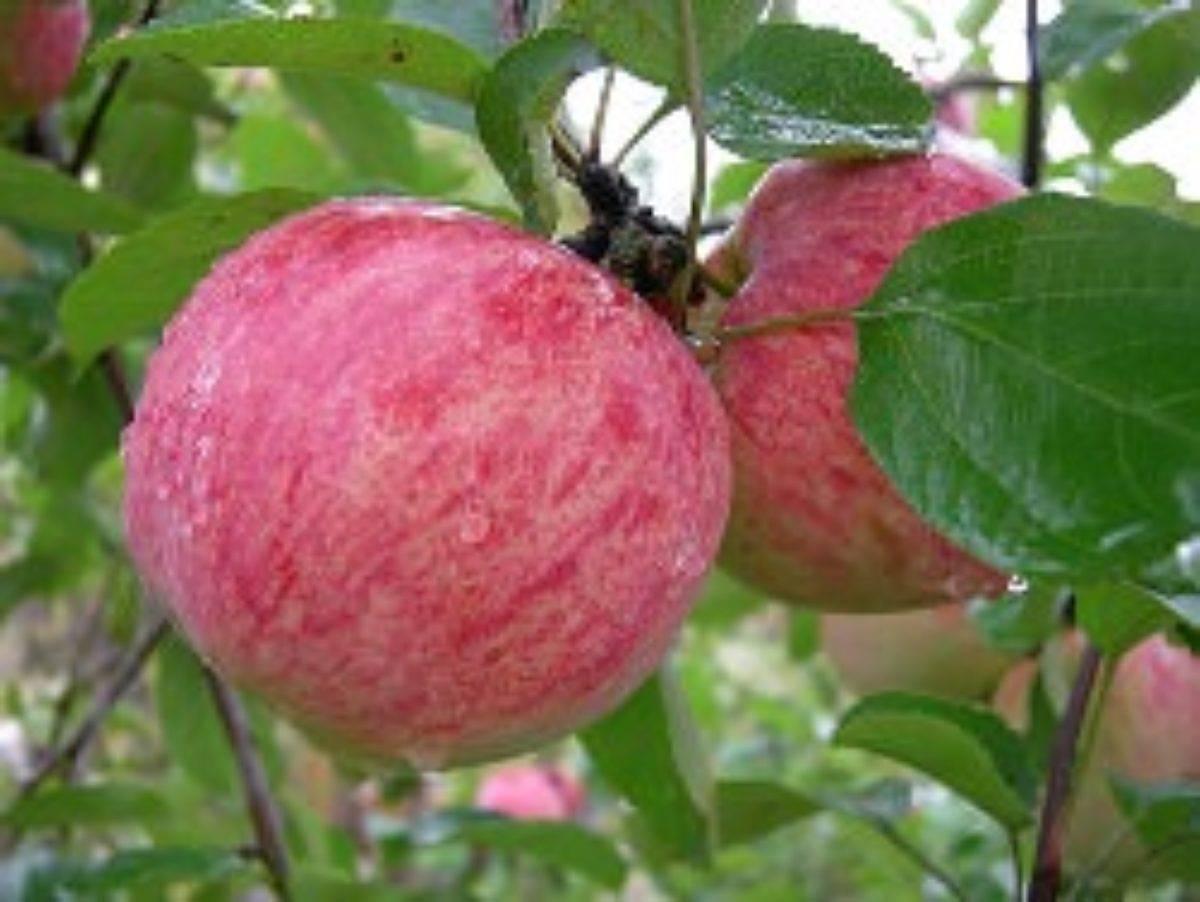 Яблоня осеннее низкорослое: описание и фото сорта, посадка, уход, болезни и вредители