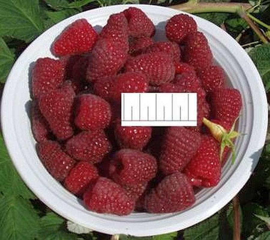 Малина атлант: описание сорта, фото, отзывы, урожайность, уход - общая информация - 2020