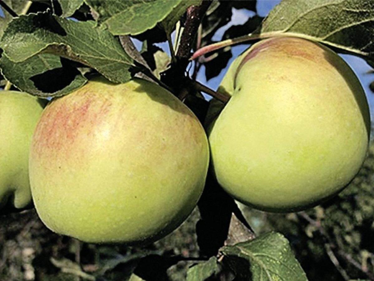 Зимостойкий сорт яблони зимняя красавица