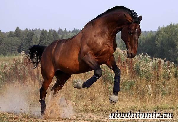 Тракененская лошадь: описание и разведение породы, характер, рост, масти