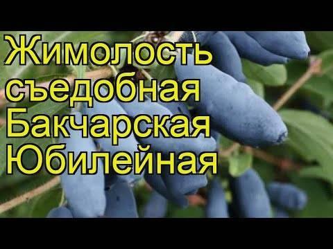 Бакчарская жимолость : описание съедобных сортов, посадка и уход