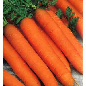 Морковь, сорт маэстро f1.