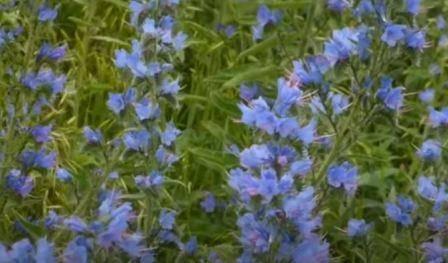 Cиняк обыкновенный— растение-медонос