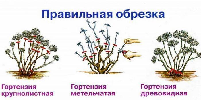 Гортензия: подготовка к зиме, пересадка, размножение, обрезка