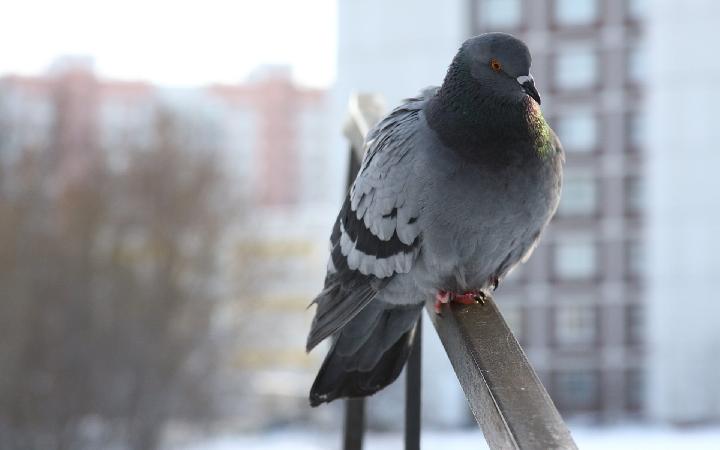 Как навсегда отвадить голубей от балкона и крыши