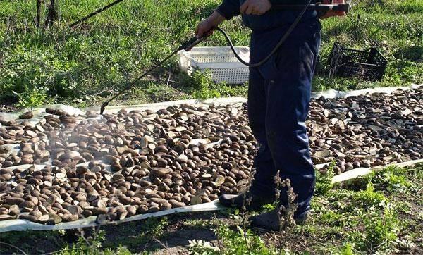 Чем обработать картофель перед посадкой. | красивый дом и сад