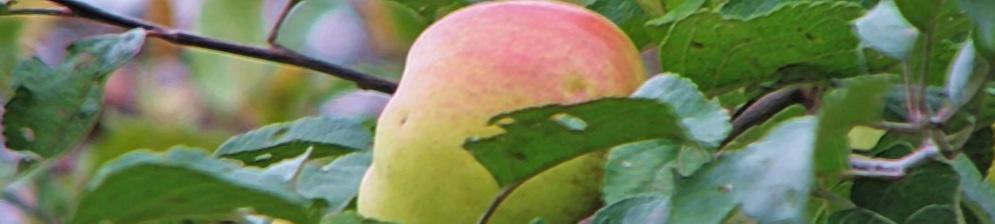 Яблоня богатырь: описание сорта, посадка и уход.