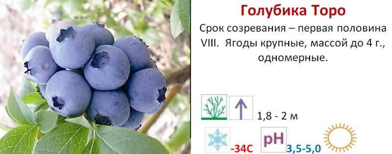 Голубика садовая — неприхотливый витамин: посадка, выращивание и уход