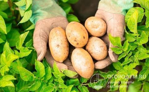 Сорт картофеля зекура: описание и характеристика, отзывы
