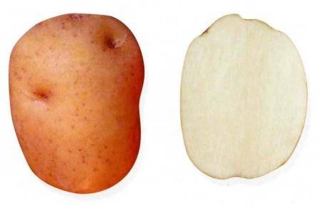 Характеристика картошки сорта ильинский