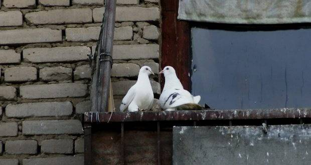Как избавиться от голубей? как прогнать голубей с балкона с помощью ультразвукового отпугивателя? шипы от голубей. какие звуки их пугают?