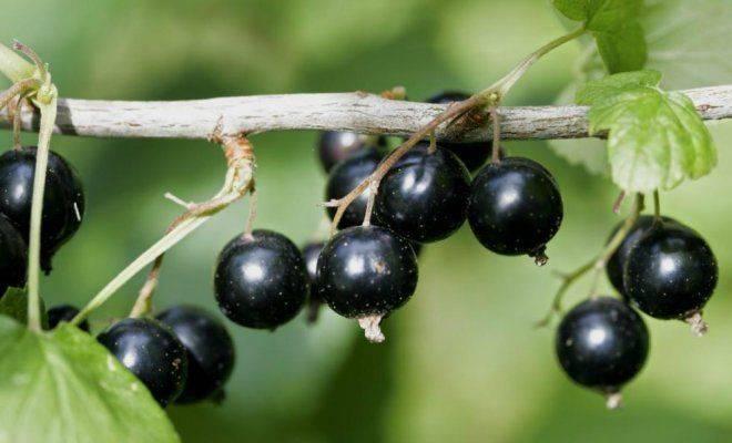 Универсальный ранний сорт черной смородины нара