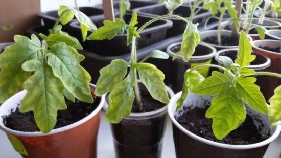 Почему желтеют листья у помидоров в теплице