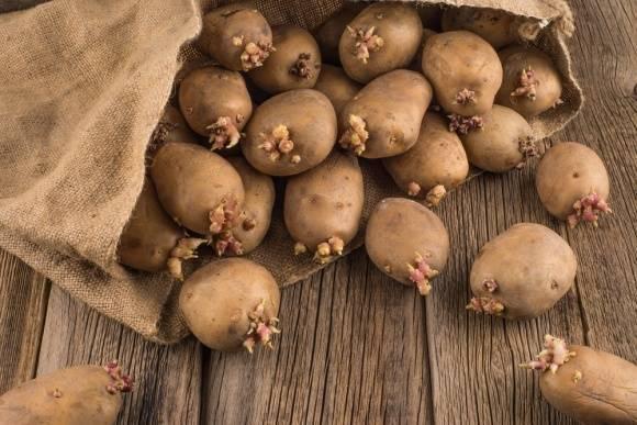Проращивание картофеля перед посадкой, в том числе в домашних условиях, когда начинать и как правильно делать