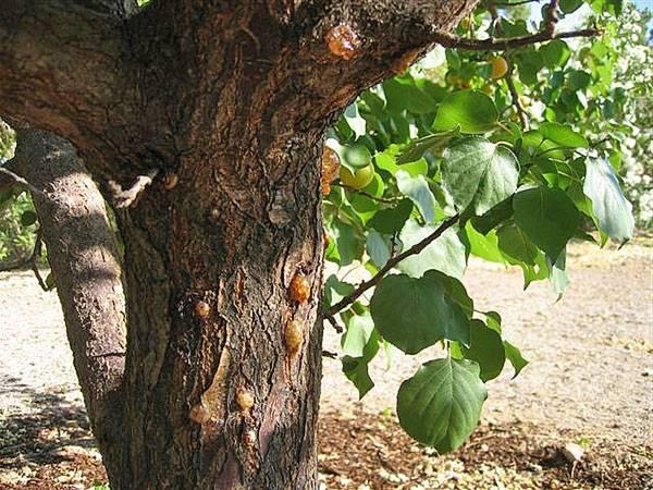 Как бороться с заболеваниями абрикоса? виды. профилактика.