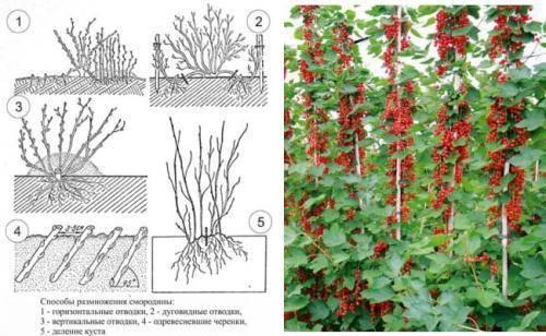 Как вырастить чёрную смородину из черенков