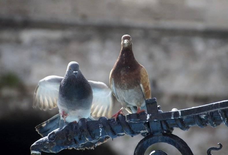 Сколько лет живут голуби: от чего зависит продолжительность жизни