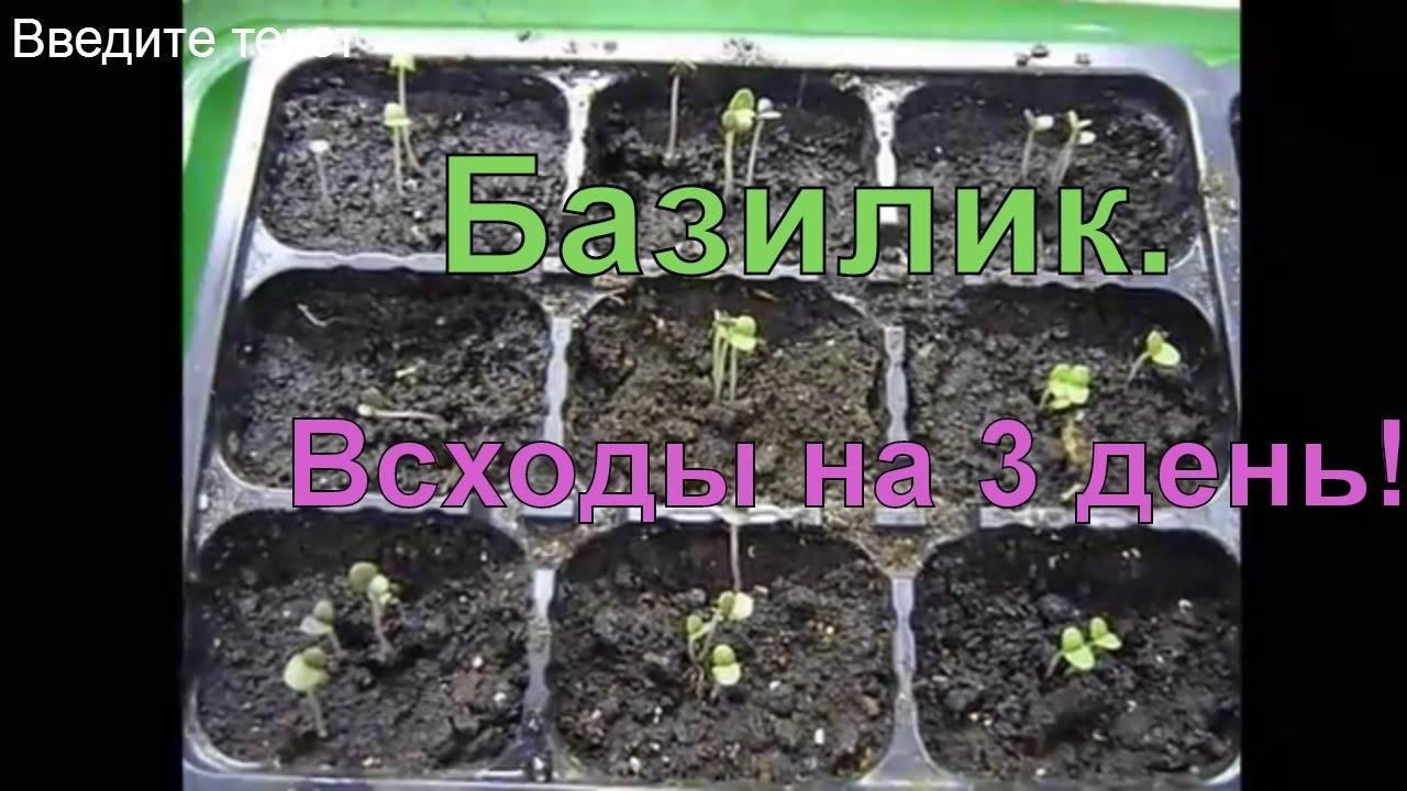 Выращивание базилика из семян на даче: агротехника, размещение в открытый грунт и уход, фото, а также когда правильно сажать весной в подмосковье и сколько растет?