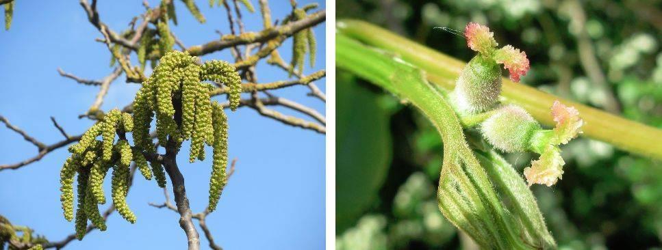 Выращиваем грецкий орех в подмосковье – обзор подходящих сортов