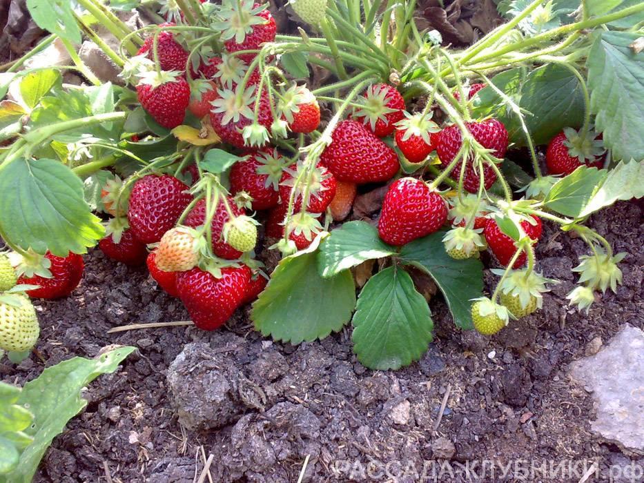 Клубника хоней - 115 фото садового сорта и рекомендации по выращиванию