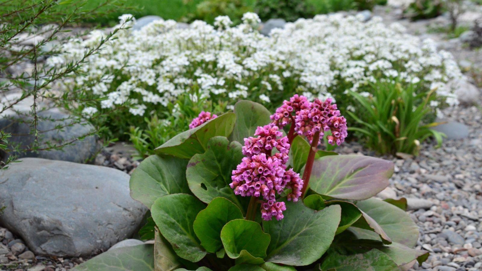 Бадан: фото цветов в ландшафтном дизайне на участке