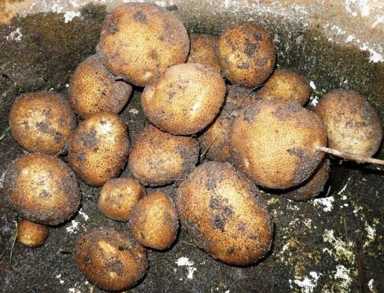 Сорт картофеля киви: характеристика, описание, фото, происхождение и особенности