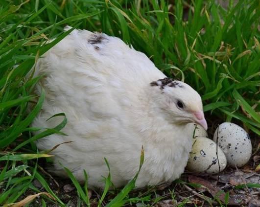 Перепела породы техасский белый