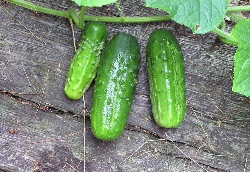 Дамские пальчики f1 – урожайный огурец для открытого и защищенного грунта