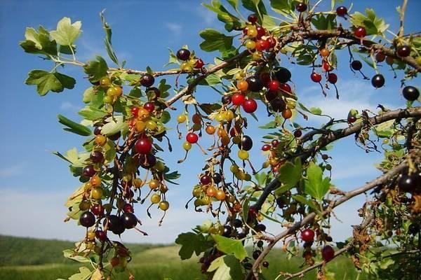 Листья смородины – лечебные свойства и противопоказания, ферментация, когда собирать