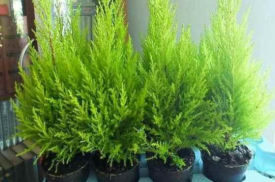 Кипарисовик лавсона «элвуди» (50 фото): уход в домашних условиях. можно ли высаживать его в открытый грунт? отзывы садоводов