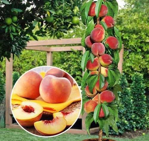Чем обработать персик осенью. обрезка персика осенью