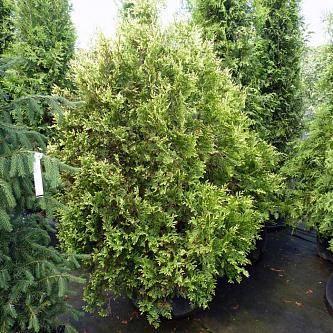 Туя складчатая гельдерлэнд (thuja plicata gelderland)