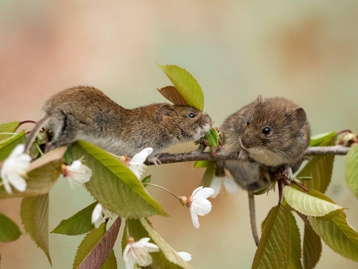 Яблоню погрызли мыши - что делать | domogorodnika.ru
