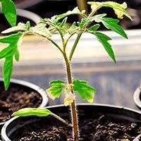 Болезни и вредители томатов: в теплице, открытом грунте