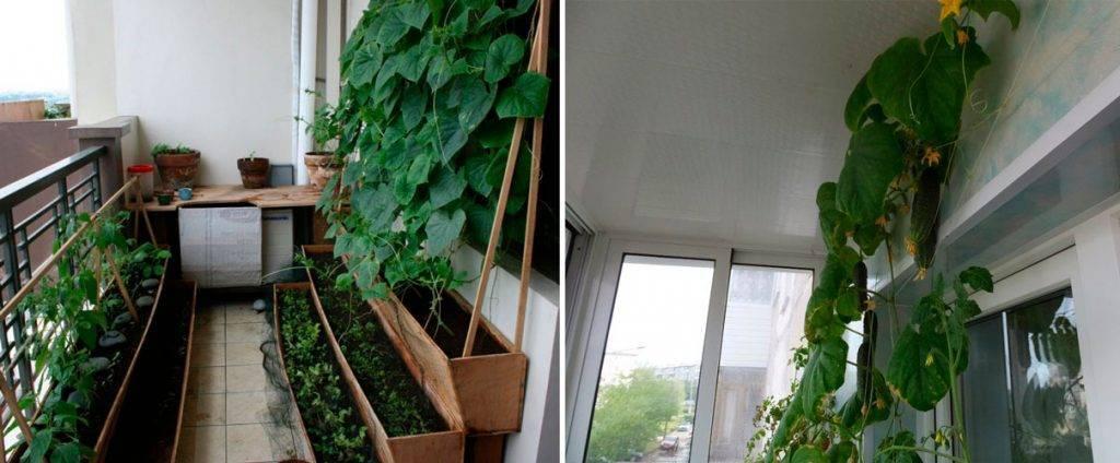 Огурцы на балконе для начинающих: выращивание пошагово + фото