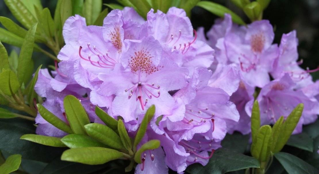 Цветы рододендрон: фото, сорта («катевбинский грандифлорум», «нова зембла»), виды рододендронов (японский, садовый, шлиппенбаха) с описанием