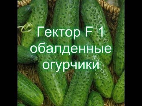 Огурец гектор f1: описание сорта и отзывы